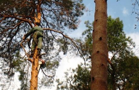 Vidalennya_derev_alpinistami_2